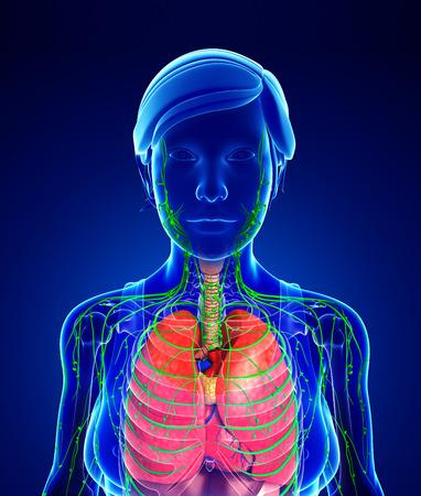 sistema digestivo: Ilustraci�n de la Mujer linf�tico corporal y obra aparato digestivo