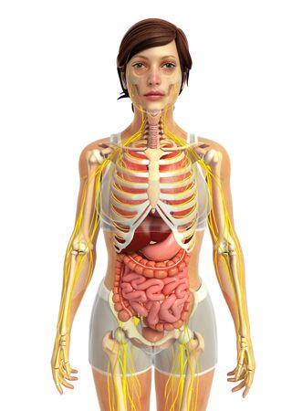 digestion: 3d rendered illustration of female digestive anatomy