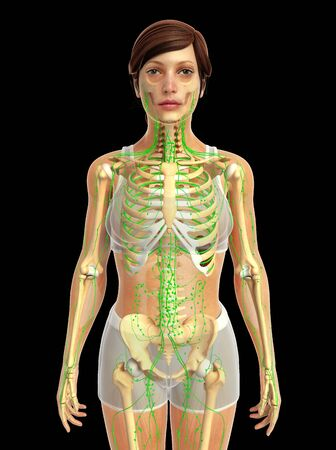 lymphatic: 3d rendered illustration of female lymphatic system