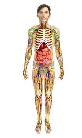 sistema digestivo: 3d rindió la ilustración de sistema digestivo masculina Foto de archivo