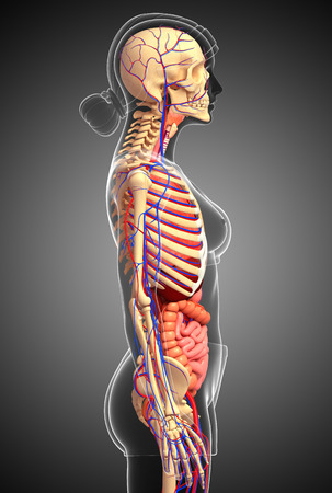 capillary: Illustration of Female skeletal, digestive and circulatory system