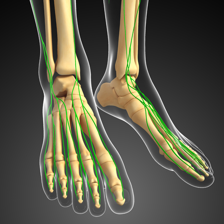 thymus: Illustration of human foot skeleton with lymphatic system