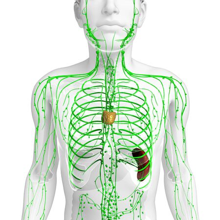 lymphatic: Illustration of male body lymphatic system
