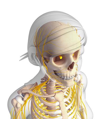 head and shoulder: Illustration of  female head skeleton with nervous system