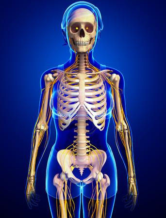 sistema nervioso: Ilustraci�n del esqueleto femenino con sistema nervioso Foto de archivo