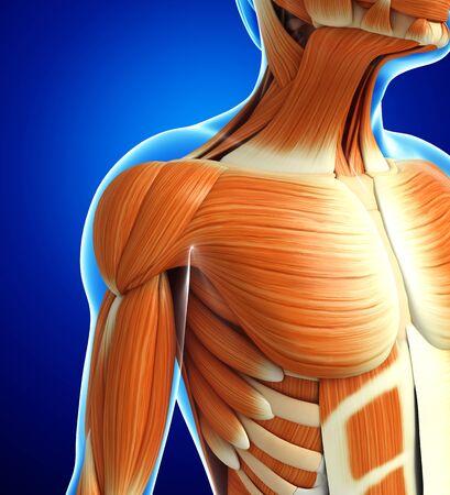 anatomía: 3d rindió la ilustración de la anatomía masculina músculos Foto de archivo
