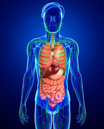 lymphatic: Illustration of Male body lymphatic and digestive system artwork Stock Photo