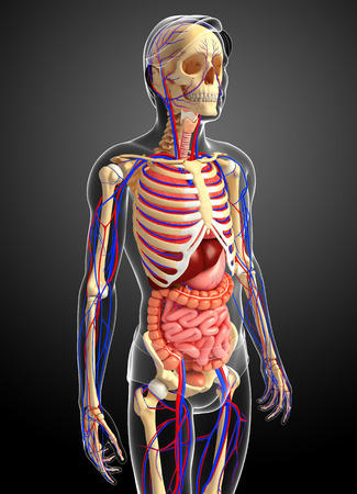 capillary: Illustration of male skeletal, digestive and circulatory system Stock Photo