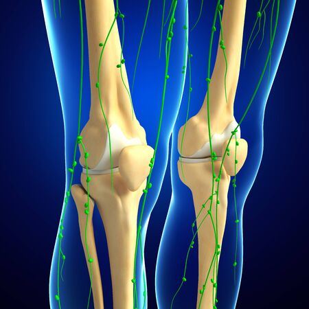 lymphatic vessels: Illustration of Knee skeleton with lymphatic system