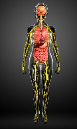 digestive: Illustration of female body with nervous and digestive system artwork Stock Photo