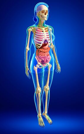 skeletal: Illustration of Female body lymphatic, skeletal and digestive system artwork Stock Photo