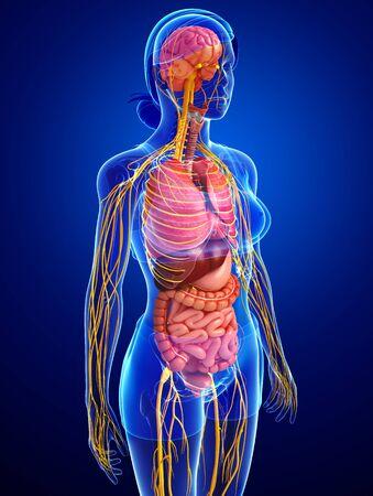 sistema digestivo: Illustration of female body with nervous and digestive system artwork Foto de archivo