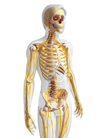 head and shoulder: Illustration of male skeleton with nervous system Stock Photo