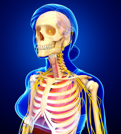 sistema digestivo: Illustration of Female skeleton with nervous and digestive system artwork Foto de archivo