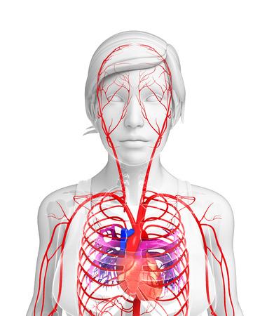 3d rendered illustration of female arterial system Stock Photo