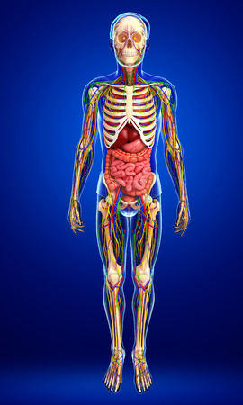 abdominal organs: illustration of Lymphatic, skeletal, nervous and circulatory system of male