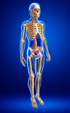 ribcage: Illustration of male skeleton with nervous system Stock Photo