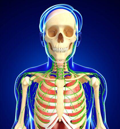 skeletal system: Illustration of Male body lymphatic, skeletal and respiratory system artwork