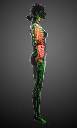 lymphocytes: Illustration of Female body lymphatic and digestive system artwork Stock Photo