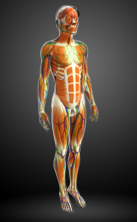 healthy arteries: 3d rendered illustration of male muscles anatomy