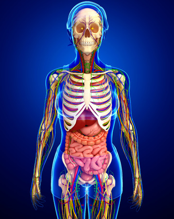 guts: illustration of Lymphatic, skeletal, nervous and circulatory system of female