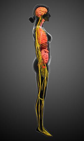 cuerpo femenino: Illustration of female body with nervous and digestive system artwork Foto de archivo