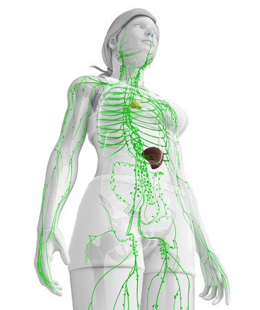 thoracic: Illustration of female body lymphatic system
