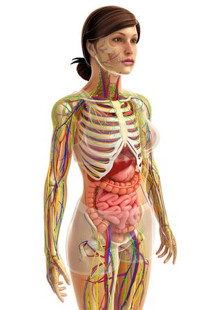 healthy arteries: 3d rendered illustration of female digestive system