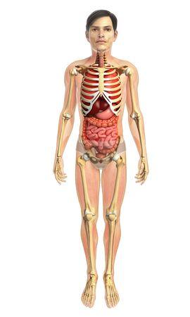 sistema digestivo: 3d rindi� la ilustraci�n de sistema digestivo masculina Foto de archivo
