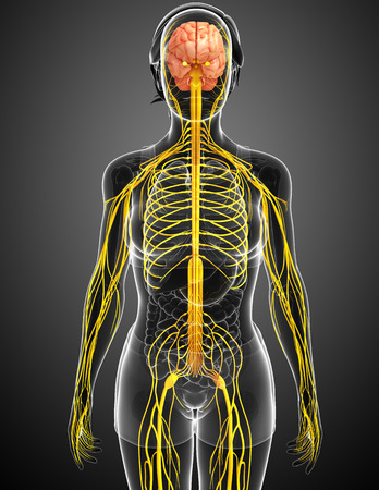 Illustration of Female nervous system artwork