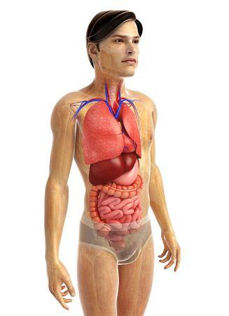digestive: 3d rendered illustration of male digestive system