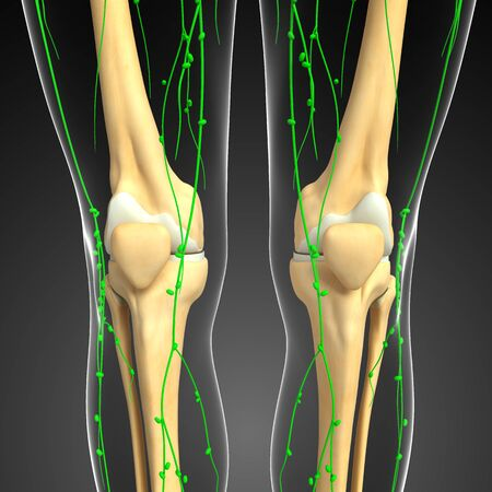 thymus: Illustration of Knee skeleton with lymphatic system
