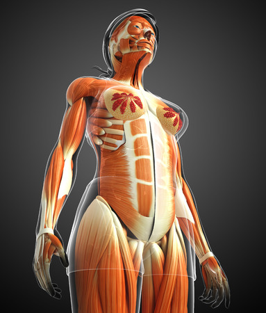 MUSCULAR SYSTEM: 3d rendered illustration of female muscles anatomy Stock Photo