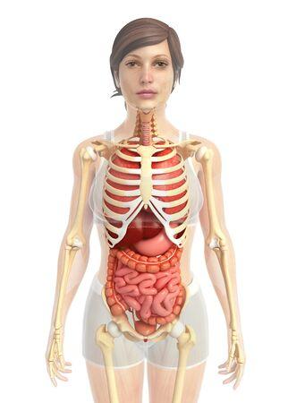 digestive: 3d rendered illustration of female digestive system