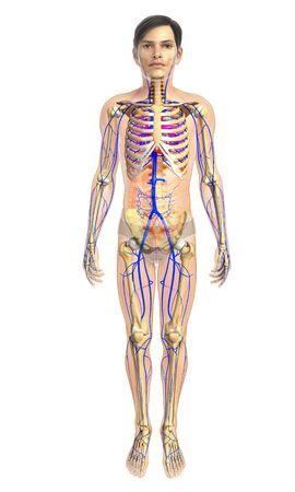 healthy arteries: 3d rendered illustration of male heatr anatomy Stock Photo