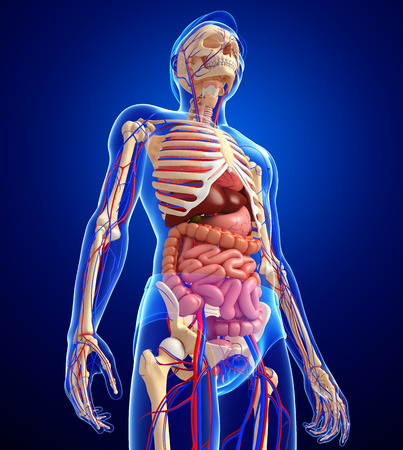 Illustration of male skeletal, digestive and circulatory system Archivio Fotografico