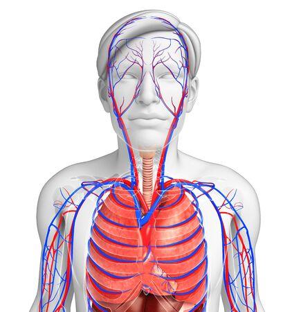 alveolos: Ilustraci�n del sistema circulatorio y respiratorio masculina