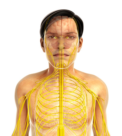 sistema nervioso: 3d rindi� la ilustraci�n de sistema nervioso masculino