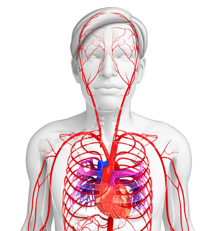 healthy arteries: 3d rendered illustration of male arterial system Stock Photo