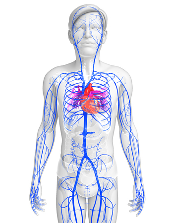 healthy arteries: 3d rendered illustration of male heart anatomy