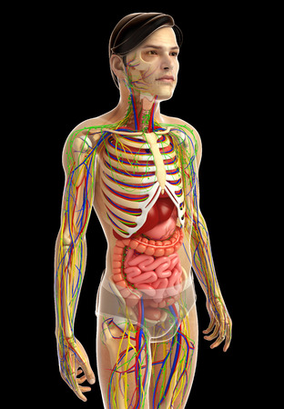 small vein: 3d rendered illustration of male digestive system