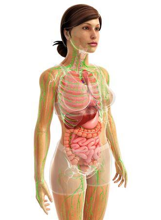 sistema digestivo: 3d rindi� la ilustraci�n de sistema digestivo femenino