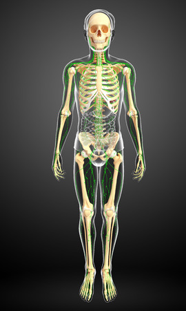 lymphocytes: Illustration of human skeleton with lymphatic system Stock Photo