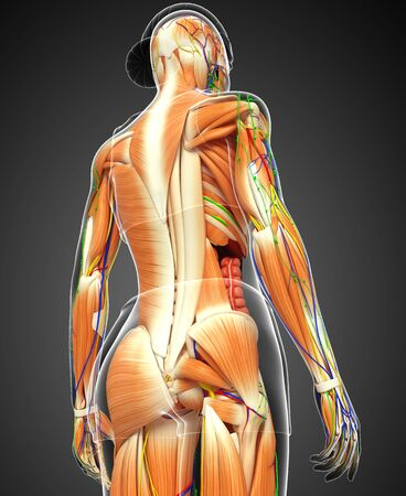 muscular system: 3d rendered illustration of muscular system Stock Photo