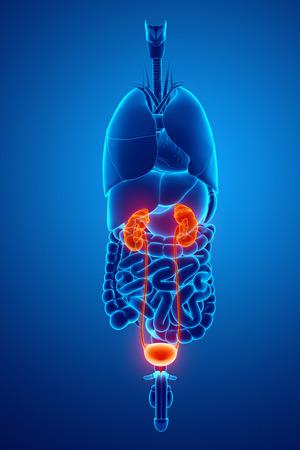 uretra: Renderizado 3D de la anatomía humana Riñones