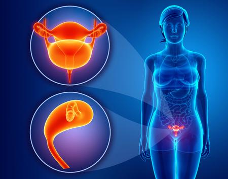 Anatomía Del Sistema Renal Femenina Fotos, Retratos, Imágenes Y ...