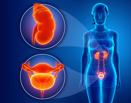 renal: Anatomy of female RENAL system