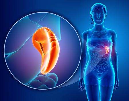 Human spleen anatomy