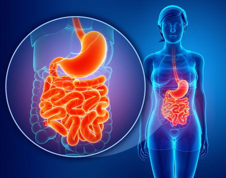 large intestine: Small intestine anatomy