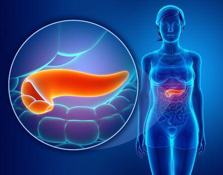 Bauchspeicheldrüse Anatomie Lizenzfreie Fotos, Bilder Und Stock ...